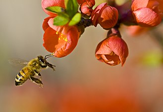 329px-Pollinationn