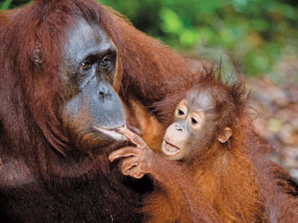 orangutan-facts-3
