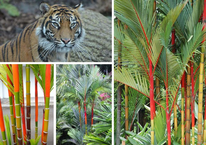 Sumatran Tiger and Habitat